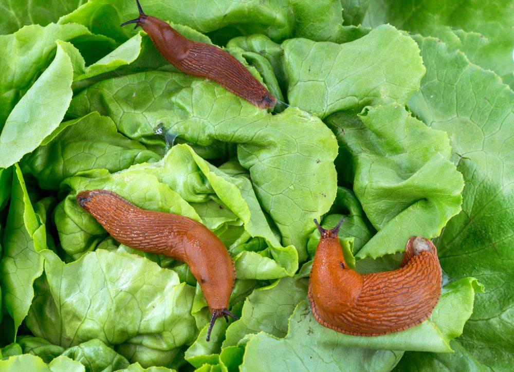 Les limaces sont bonnes pour la santé