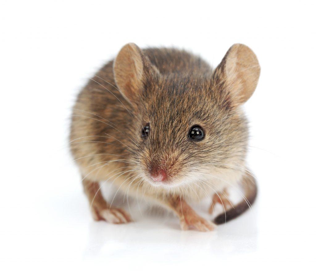 Des vieilles souris qui rajeunissent et courent plus vite avec une vitamine !