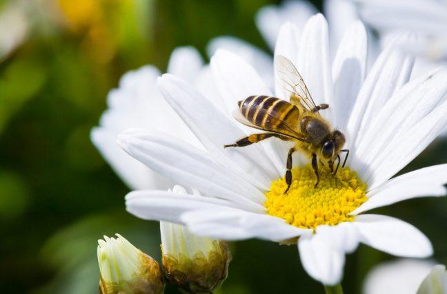 Trop d'abeilles en Suisse ?!