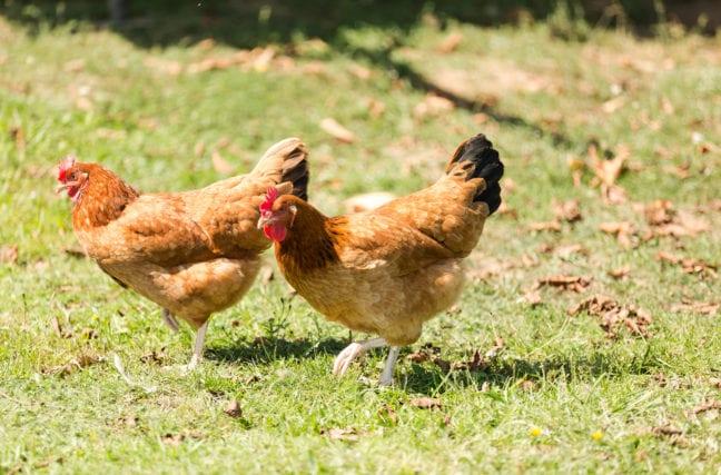 Poulet végétal ou poulet fermier?