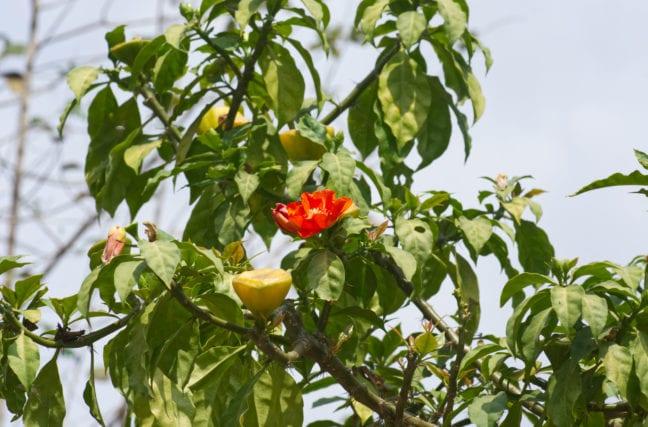 Le cactus d'Amérique du Sud contre l'hypertension, le diabète et les rhumatismes