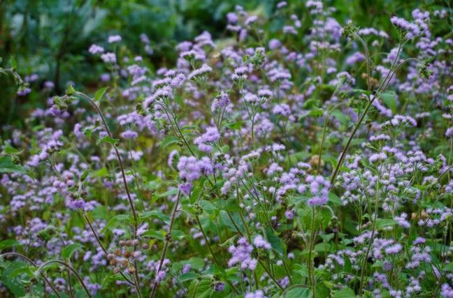 Plantes étonnantes : la vernonie